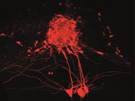 En una hazaña de la nanoingeniería, los científicos han desarrollado una nueva técnica para mapear circuitos eléctricos en el cerebro mucho más exhaustivamente que nunca.
